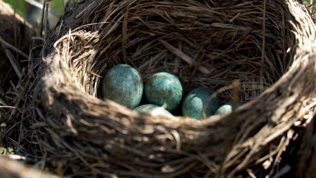 eier eines wilden schubs, der im nest liegt, unter einer morgenfrühlingssonne - nest stock-videos und b-roll-filmmaterial
