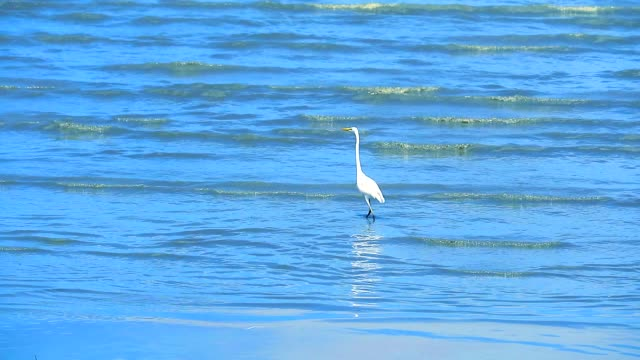Egret are looking for seafood by the beach2