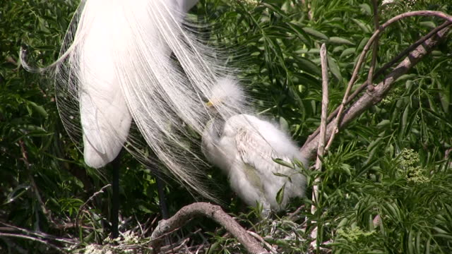 Egret Chick and Plumes, Closeup video