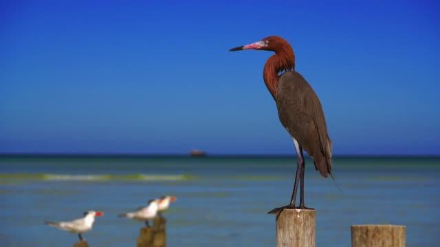 egretta ルフェスケンスまたは赤味がかった白鷺鷺鳥 - 野生動物旅行点の映像素材/bロール