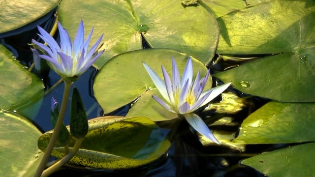 Egyptian blue lily (Nymphaea Caerulea) video