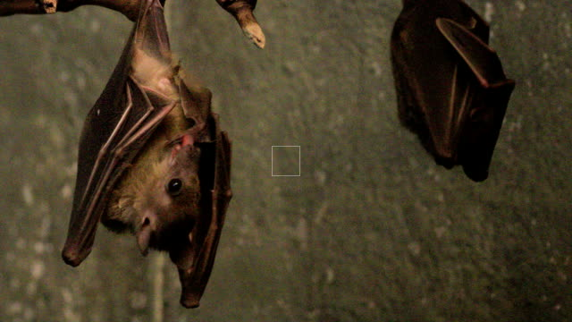 Egyptian Fruit Bat, Rousettus aegyptiacus cleaning itself video