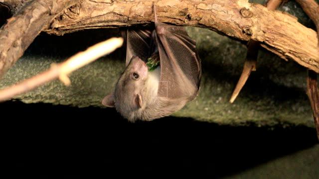 Egyptian Fruit Bat, Rousettus aegyptiacus feeding video