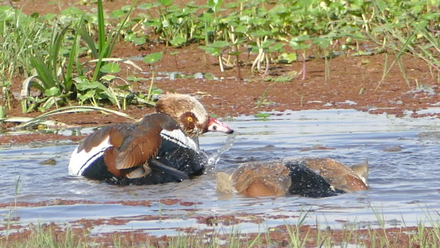 Egyptian goose cleaning video