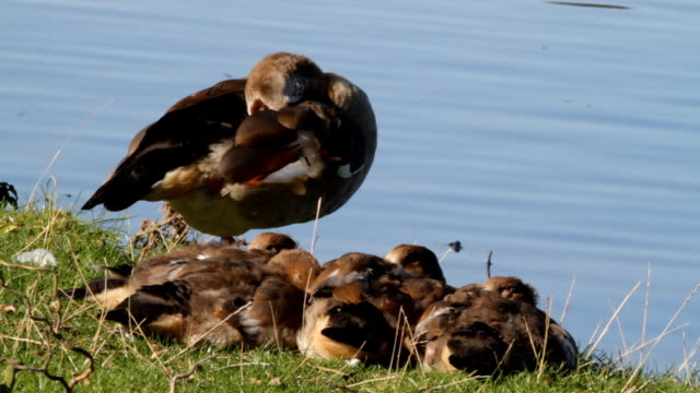 Egyptian goose stands guard with four goslings HD video video