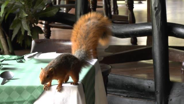 Eichhörnchen in der Lodge Eichhörnchen in der Lodge cleaner shrimp stock videos & royalty-free footage