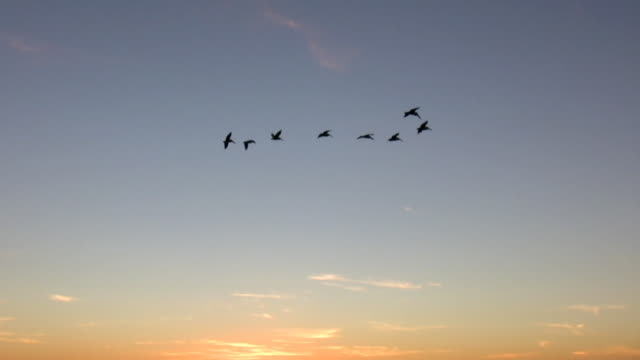 Eight Pelicans at Sunset (HD) video