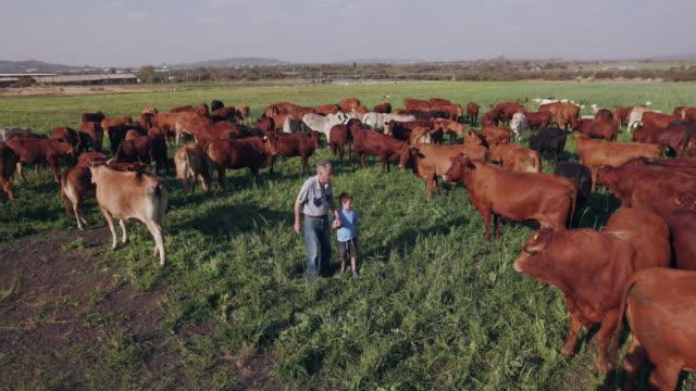 Elderly farmer walking amongst free range cattle with grandson video