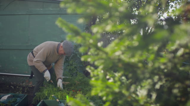 Elderly Male Gardener Tending to Vegetable Patch Full arc shot of elderly man bending over and carefully tending by hand to vegetable patch in garden on sunny day horticulture stock videos & royalty-free footage