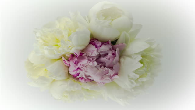 vídeos de stock e filmes b-roll de elegant blooming flower bouquet of white and purple peony flowers. - flower white background