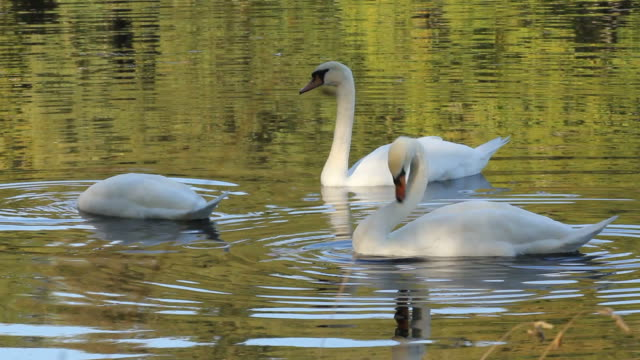 Elegant Mute Swans On A Summers Morning Lake video
