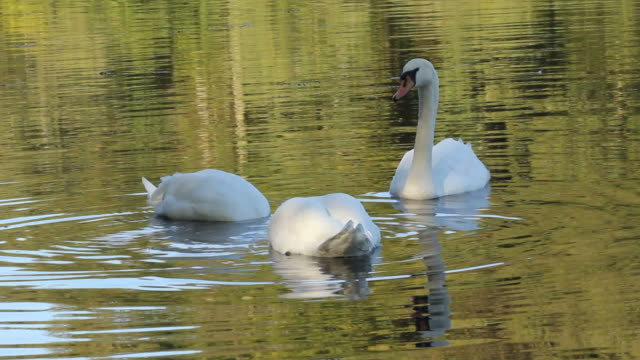 Elegant Mute Swans On A Summers Morning Lake