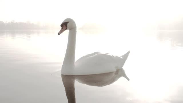 elegante swan auf einen nebligen see - schwan stock-videos und b-roll-filmmaterial