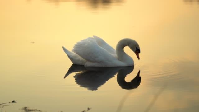 eleganter schwan am sunset lake - schwan stock-videos und b-roll-filmmaterial