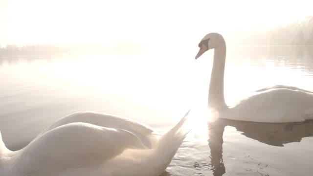 elegante schwäne auf einen nebligen see - schwan stock-videos und b-roll-filmmaterial