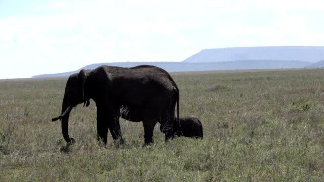 Elephant and baby  feeding on th Serengeti, Tanzania Africa video