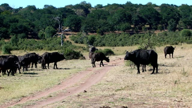 elephant and Cape Buffalo, Africa safari wildlife