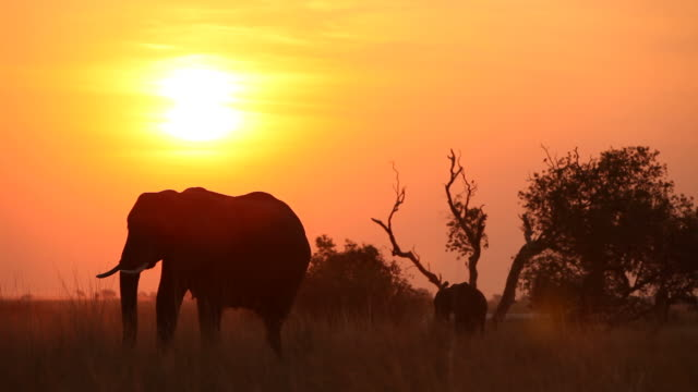 Elephant and it's calf silhouetted at sunset.