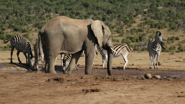 Elephant and zebras at waterhole video