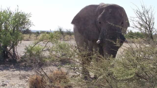 Elephant Bull Close Up in Etosha NP