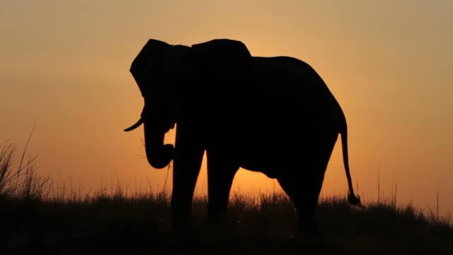 Elephant bull silhouetted against setting sun. video