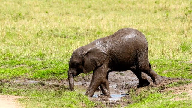 Elephant calf playing in the mud in Masai Mara National Reserve