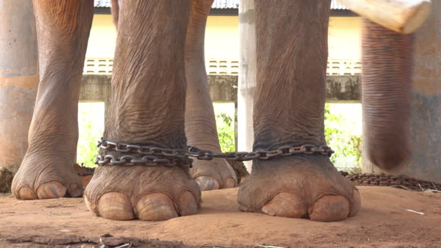 Elephant chained video