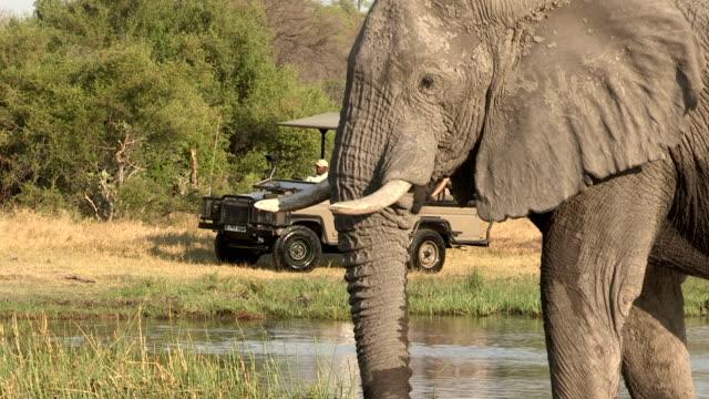 Elephant drinking with tourist safari vehicle in background,Botswana video