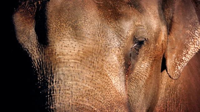 Elephant Face video