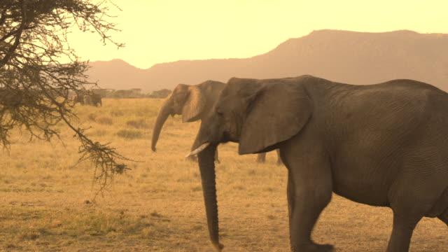埃っぽい乾燥したサバンナの草原を渡る赤ん坊連れのクローズ アップ: 象 - 野生動物旅行点の映像素材/bロール