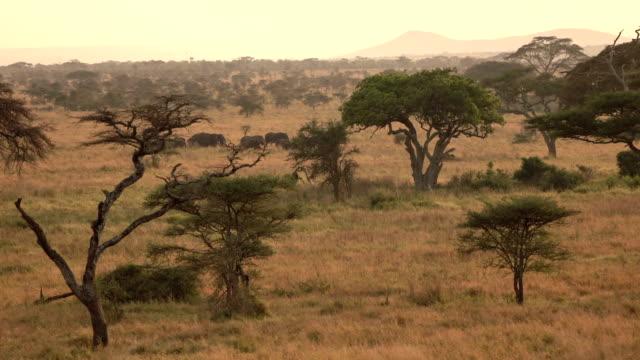 antenne: elephant gruppe reisen durch savanne wildnis im goldenen licht morgengrauen - savanne stock-videos und b-roll-filmmaterial