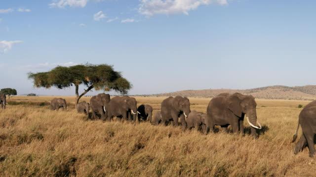 elephant herd in single file approaching at serengeti - obiekt światowego dziedzictwa unesco filmów i materiałów b-roll