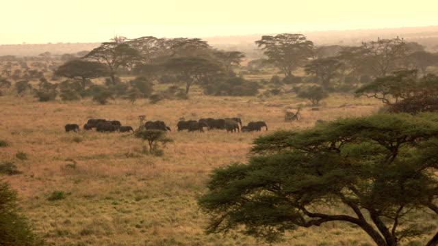 antenne: elefantenherde im goldenen licht morgengrauen durch savanne wildnis reisen - savanne stock-videos und b-roll-filmmaterial