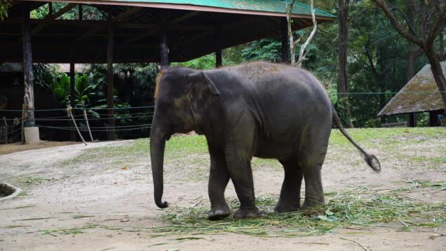 elephant in farm at Chiang Mai, Thailand video