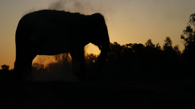 elephant in the forest silhouette video