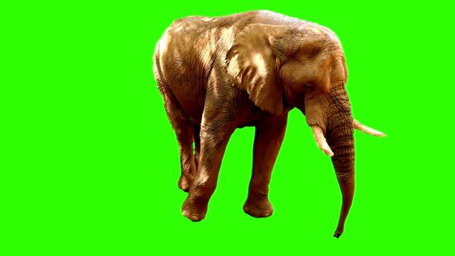 elephant on green screen 2 video