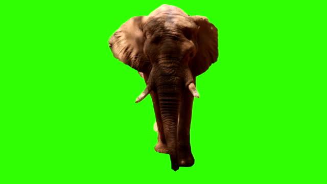 elephant on green screen video
