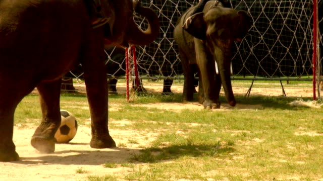 elephant play soccer video