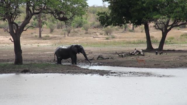 Elephant refreshing near an impala in the African savannah video