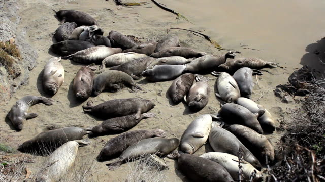 Elephant Seals Enjoying The Warm Sunshine On Beach video