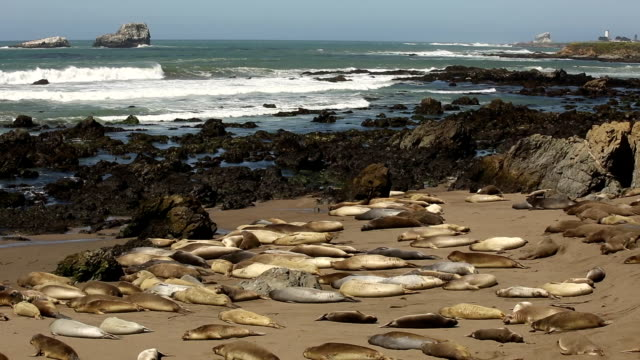 Elephant Seals Laying on the Beach video
