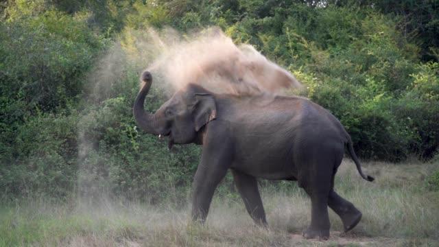 vídeos de stock e filmes b-roll de elephant throwing sand to himself in to the wild in sri lanka. slow motion footage. - sri lanka