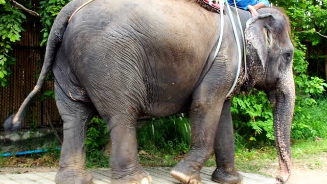 vidéos et rushes de trek et randonnée éléphant de forêt tropicale - randonnée équestre