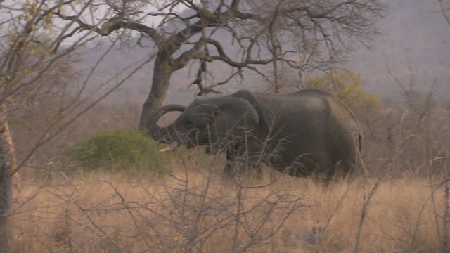 Elephant walking. HQ 4:2:2 video