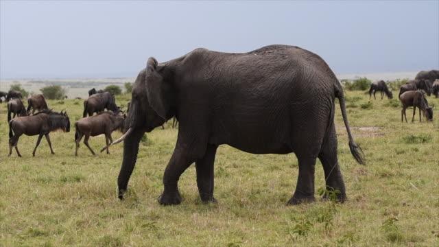 Elephant walking in the savannah