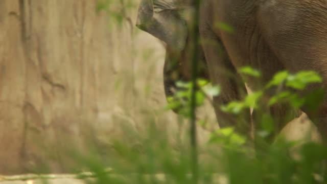 hd - elephant walking - uzun adımlarla yürümek stok videoları ve detay görüntü çekimi