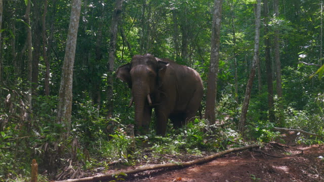 elephant with his mahout walking in a forest path video