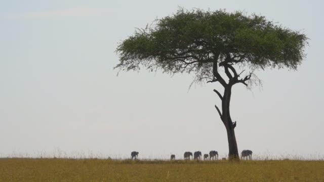 vídeos de stock e filmes b-roll de elephants and an acacia tree - quénia