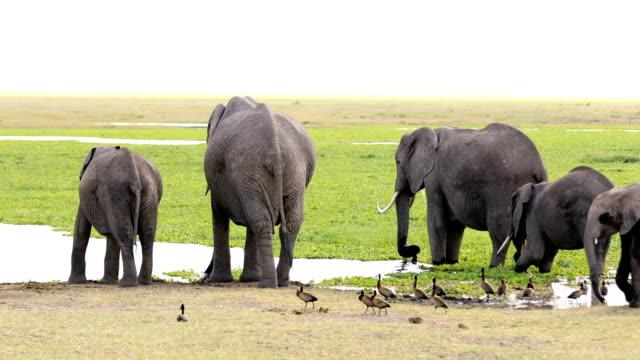 Elephants at Wild - drinking video