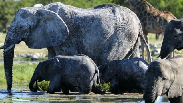 vídeos y material grabado en eventos de stock de elefantes bebiendo de estanque, namibia - un animal